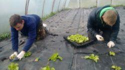 Sadzenie salaty na macie (fot. CEO Szczecin)