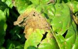 brunatna plamistość liści