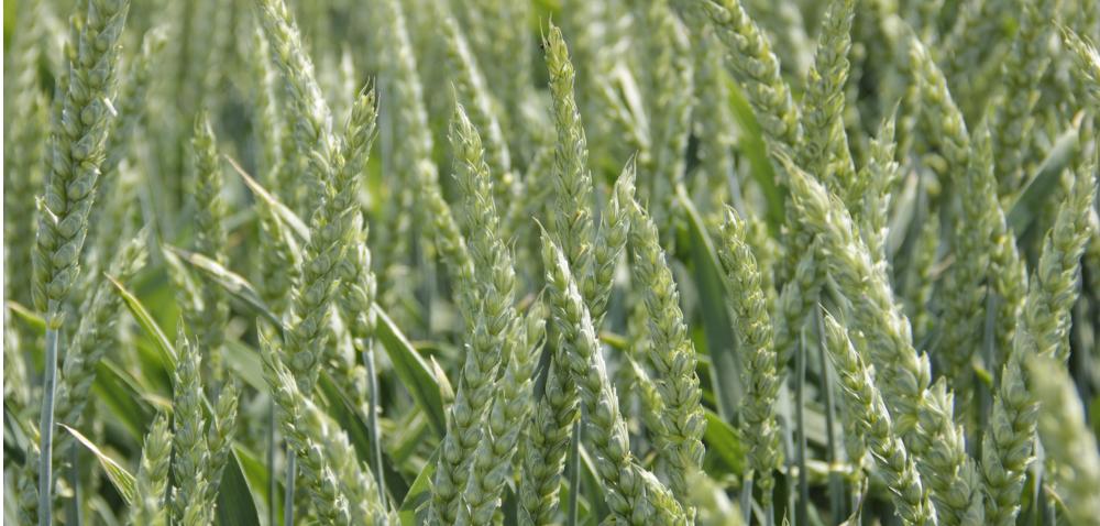 Kłoszenie pszenicy adobór odmian