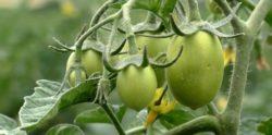 niedobór potasu wpomidorze
