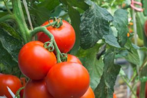 Akademia Nawożenia Intermag: pomidor