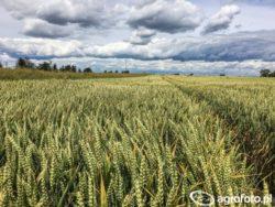 pszenica na słabe gleby