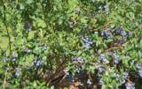 Borówka nie toleruje szkodników i słabo przygotowanej gleby