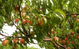 Zdrowe drzewa wydają piękne i dorodne owoce