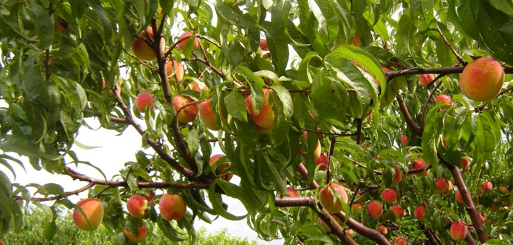 Choroby brzoskwiń skutecznie odparte