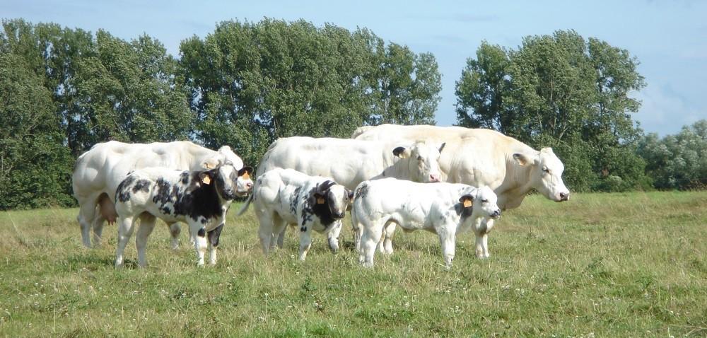 Belgijska biało-błękitna czyli mięsny olbrzym! Sprawdź jakie ma przyrosty!