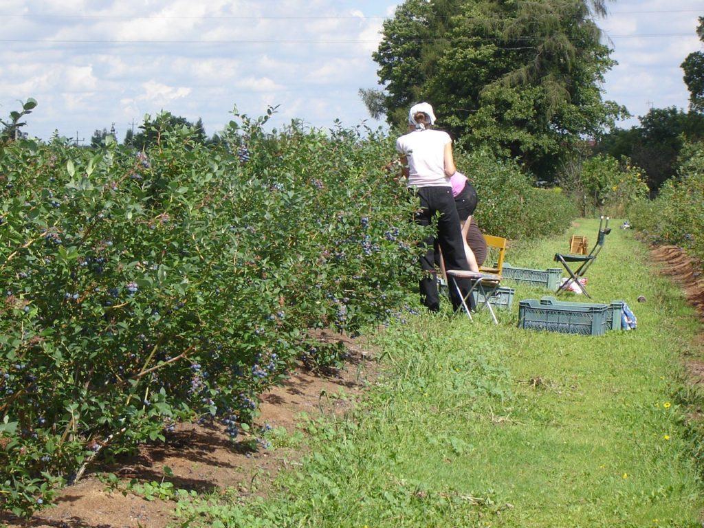 Borówka jest zbierana ręcznie imaszynowo - to zależy od powierzchni plantacji