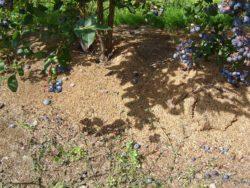 Borówka wymaga trocin pod krzewy