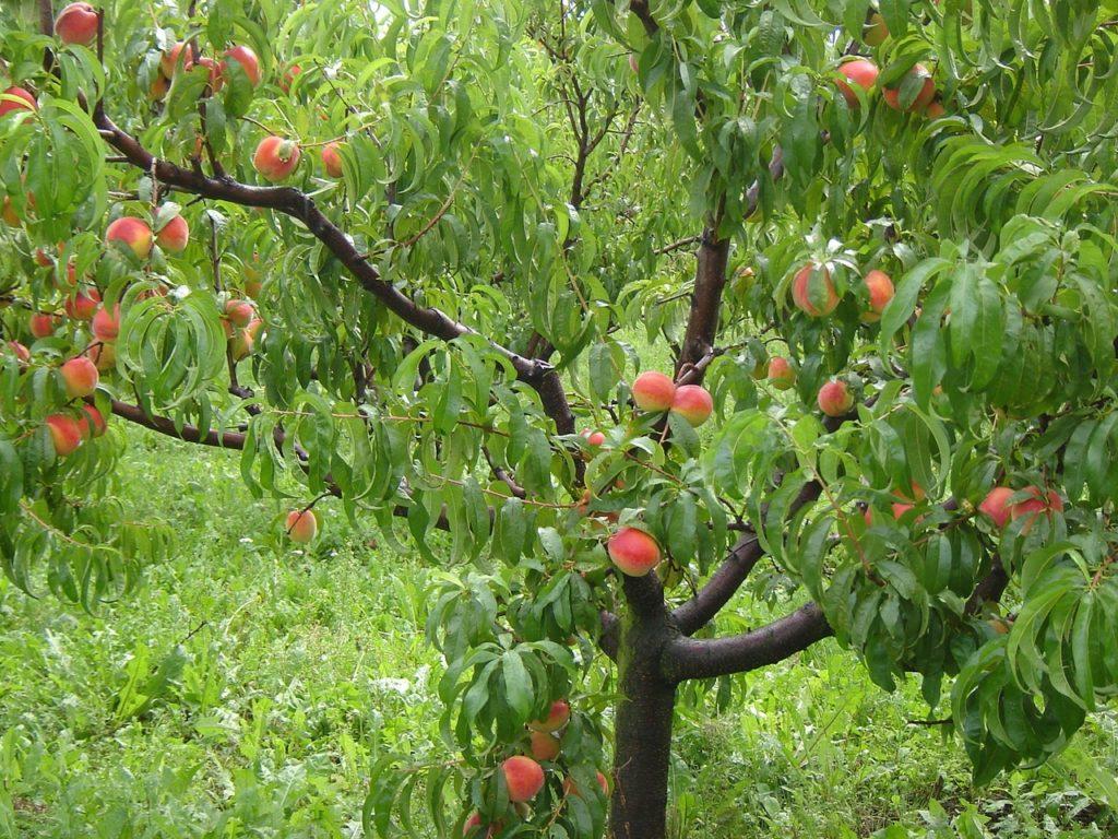 Zdrowe drzewko wydaje jędrne isoczyste owoce