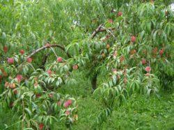Prace pielęgnacyjne przy gałęziach brzoskwiń są niezbędne