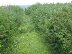 Nie koszone przejścia między rzędami krzewów utrudniają obserwację stanu roślin oraz dbanie oglebę