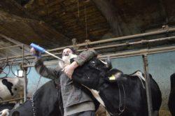 bolusy dla bydła