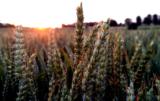 pszenica ozima na słabe ziemie
