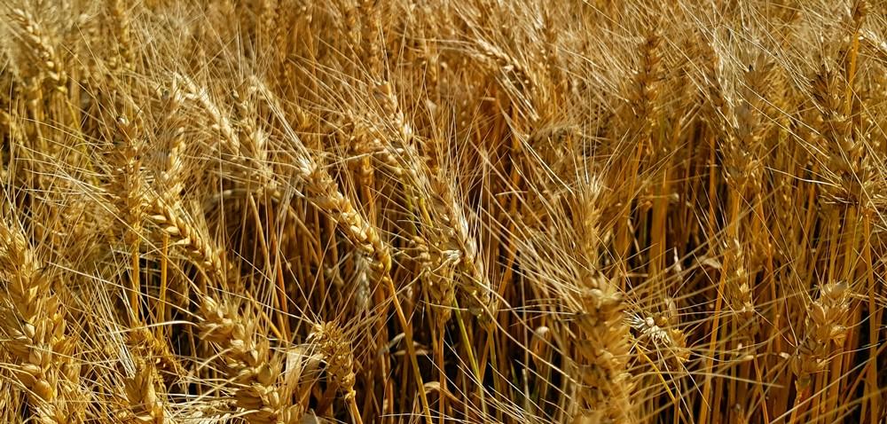 Ościsty gatunek pszenicy: IS Spirella. Odstrasza dziki, szybko schodzi zpola