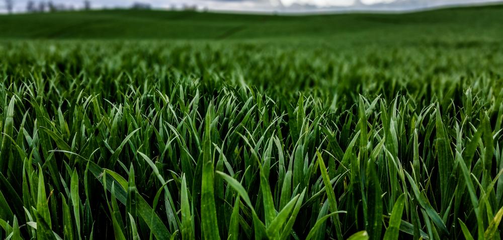 Polecana pszenica ozima isprawdzona na różnych stanowiskach