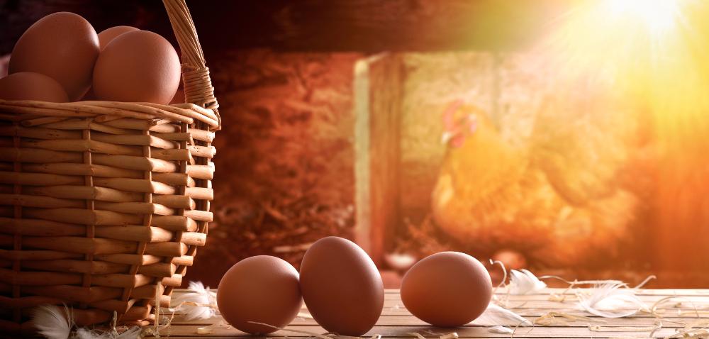 Oświetlenie kurnika – czy może wpłynąć na efektywność produkcji?