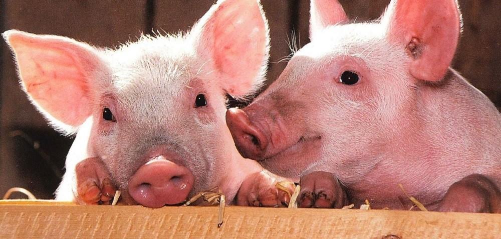 Pogłowie świń wPolsce zwiększa się – dobre prognozy!