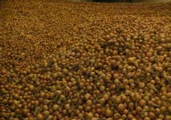 Niedostateczne nawodnienie gleby podczas siewu iwschodów cebuli ozimej wpołowie lata ma swoje odzwierciedlenie wbieżącej sytuacji na polach.