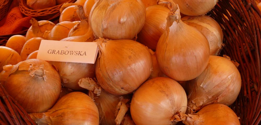Nawodnienie gleby konieczne dla wzrostu cebuli