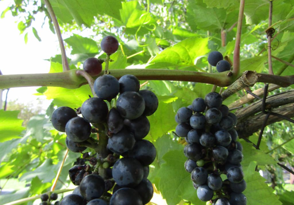 Tradycyjnie najmocniejszy region produkcji wina to Małopolska iDolny Śląsk
