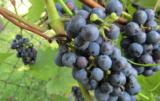 Winnice to z pewnością dobry sposób na zarobek ale także na rozwój swojej własnej pasji
