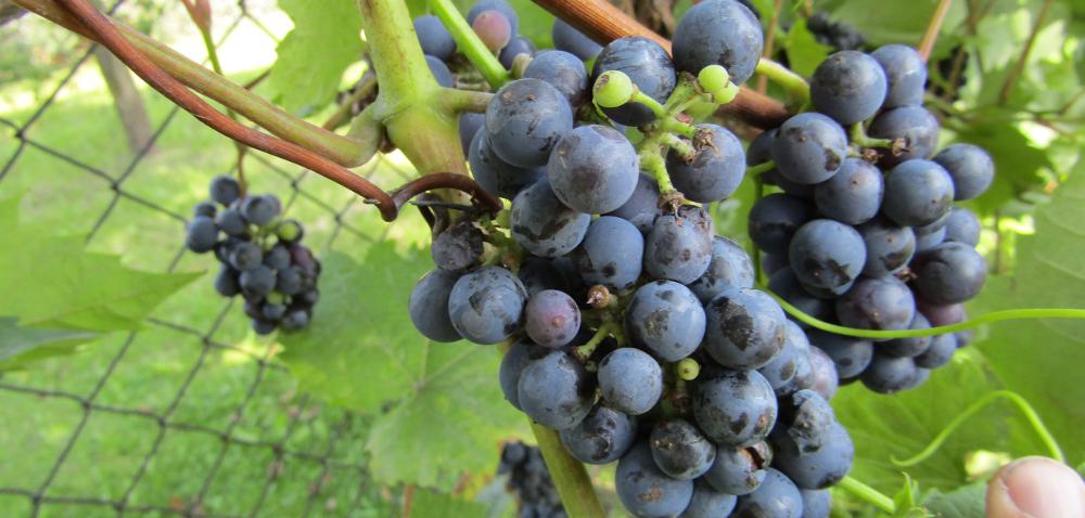 Winnice polskie mają potencjał iprzyszłość