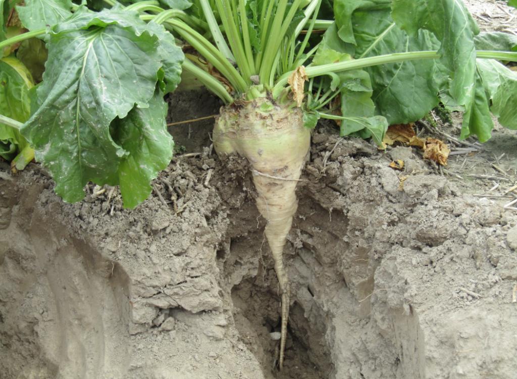 Odpowiednie międzyplony wuprawie buraka cukrowego przyczyniają się do wzbogacenia gleby idobrego plonu