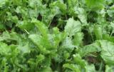 Stosowanie międzyplonów ma pierwszorzędne znaczenie w uprawie roślin okopowych