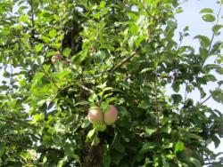 Bio sady prowadzą wPolsce tylko nieliczni sadownicy
