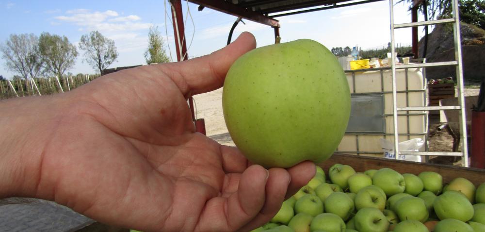 Opady deszczu iopadanie jabłek zagrażają jakości zbiorów