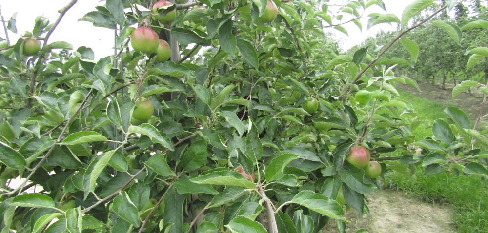 Bio owoce narażone na szkodniki – jak je zwalczać