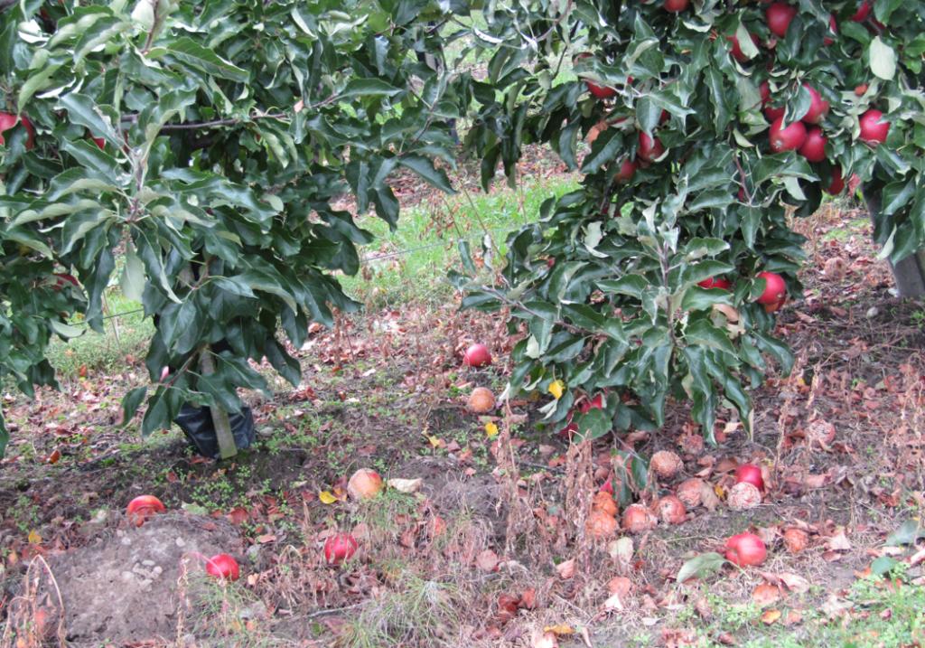 cena jabłek przemysłowych