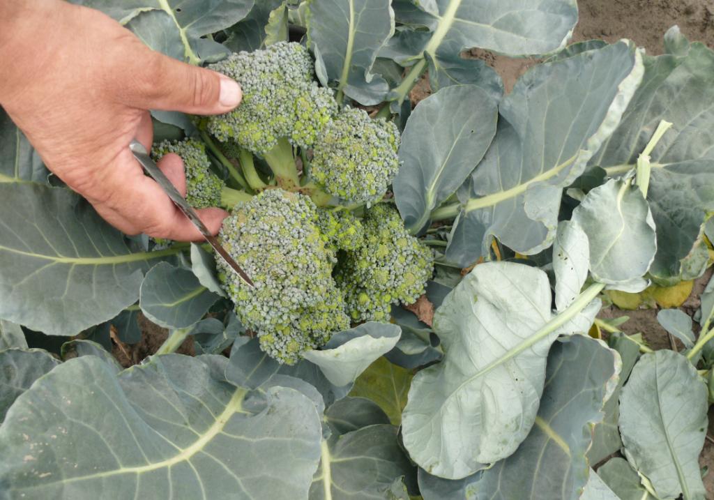 jak uprawiać brokuły