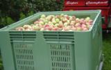 Embargo osłabia dynamikę naszego eksportu jabłek