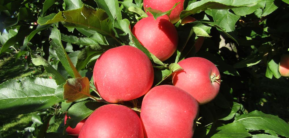 Jabłoń odmiany Gala – królowa wpolskich sadach