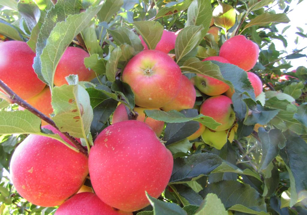jabłoń odmiany Gala