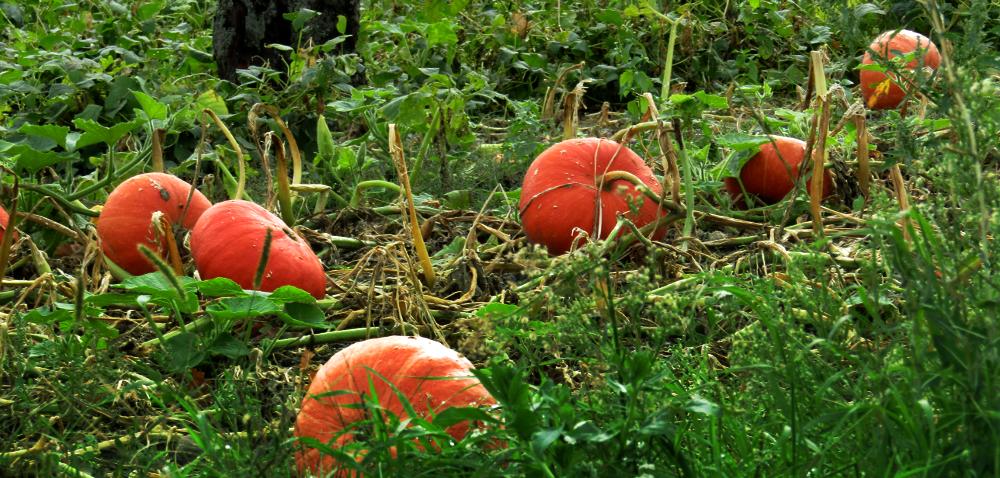 Dyniowate – skuteczna uprawa iochrona