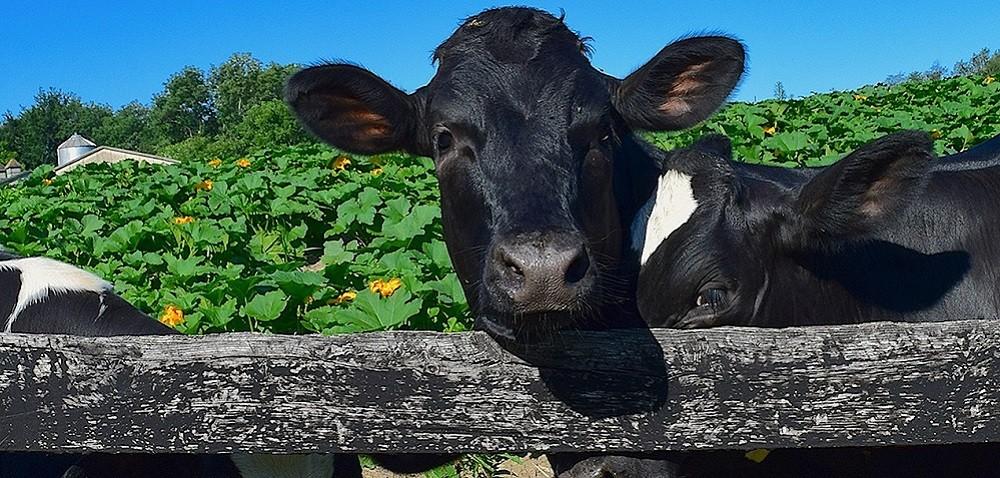 Pogłowie bydła wPolsce zwiększa się – dobra prognoza na przyszłość