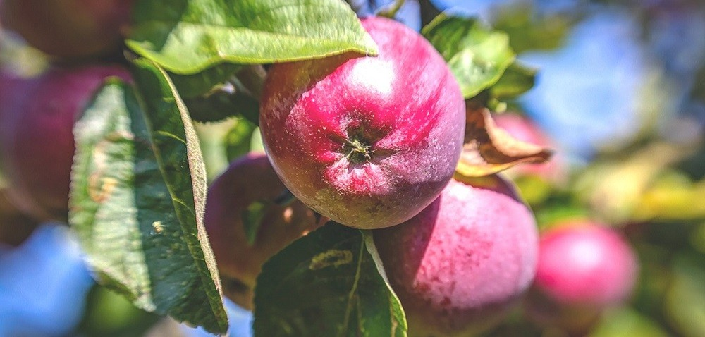 Cena jabłek – jakiej można się spodziewać?