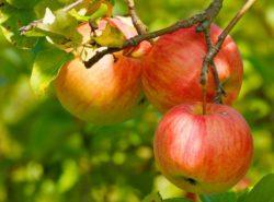cena jabłek