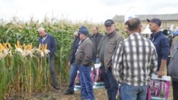 uprawa kukurydzy na ziarno
