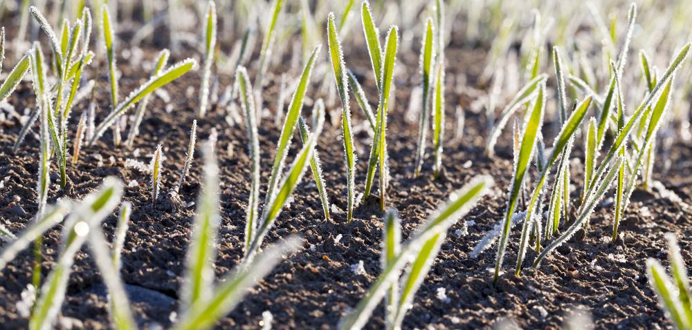 Jak opóźniony siew pszenicy wpływa na uprawę? [WYWIAD]