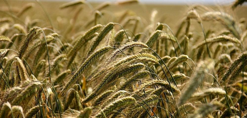 Cena zboża – jakiej można się spodziewać po zbiorach?