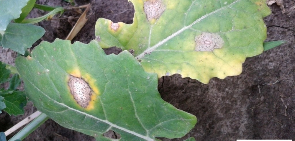 Sucha zgnilizna kapustnych – jak znią walczyć?