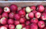 Ceny jabłek zawodalają sadowników