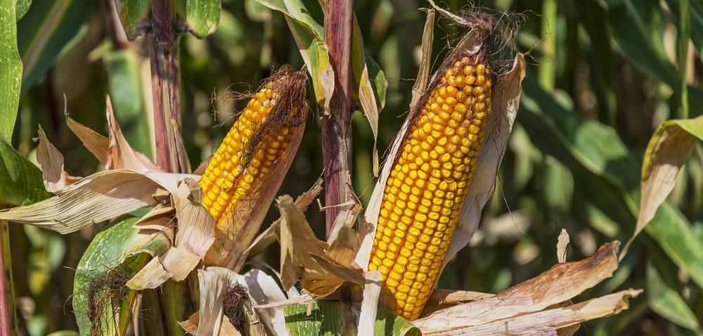 Kukurydza na ziarno – jak wygląda sytuacja przed zbiorami?