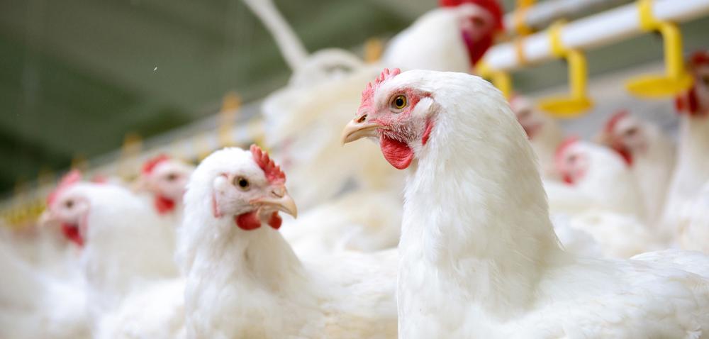 Choroby brojlerów aintegralność jelit ptaków