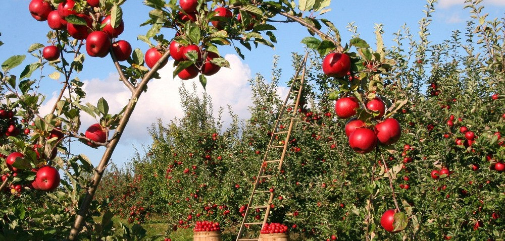 Ceny jabłek wtym roku zadowalają sadowników