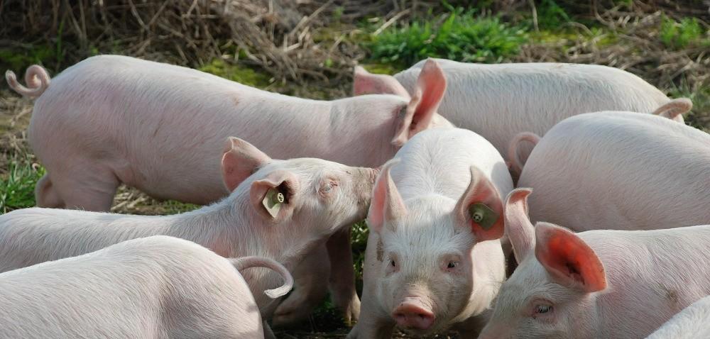 Nieutrzymywanie świń – więcej czasu na wnioski