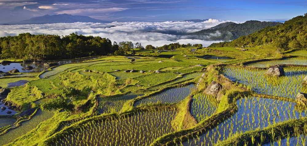 Uprawa ryżu na świecie – gdzie produkuje się go najwięcej?